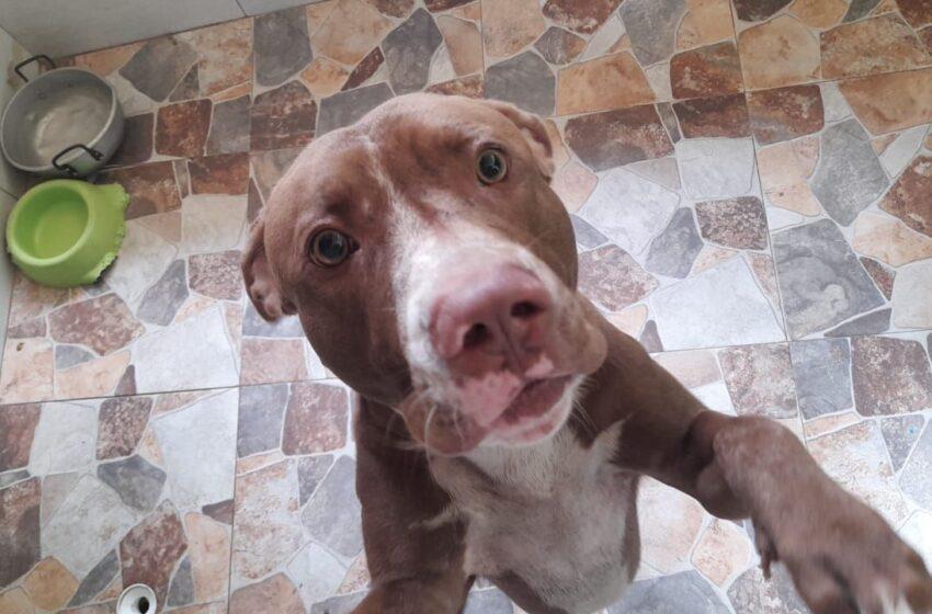 """""""Nail"""", el perro pitbull que atacó a sus propietarias será entregado en adopción: secretaría de Salud de Piedecuesta"""