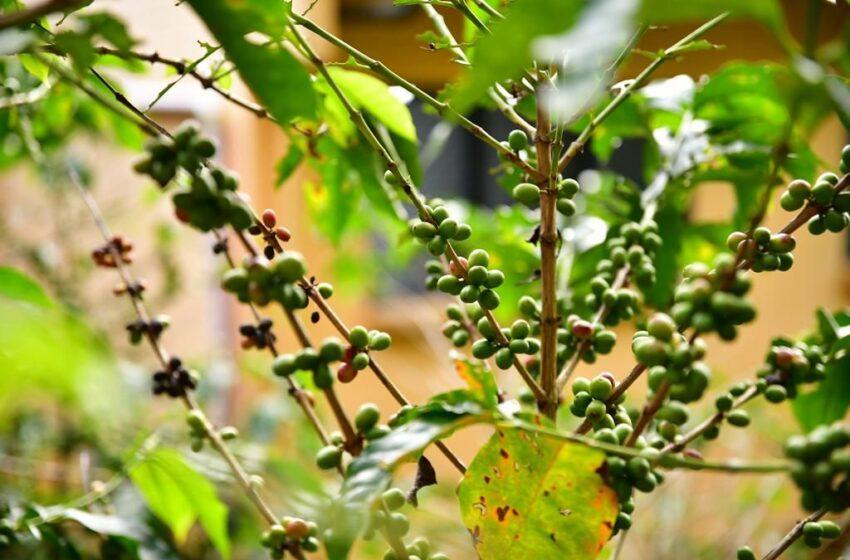 Lanzamiento de Cafetales Seguros protegerá las cosechas en Santander
